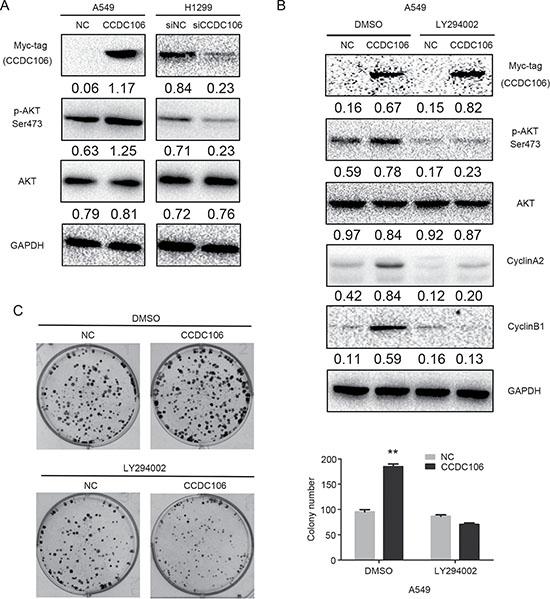 CCDC106 increased Cyclin A2 and Cyclin B1 expression via AKT activation.