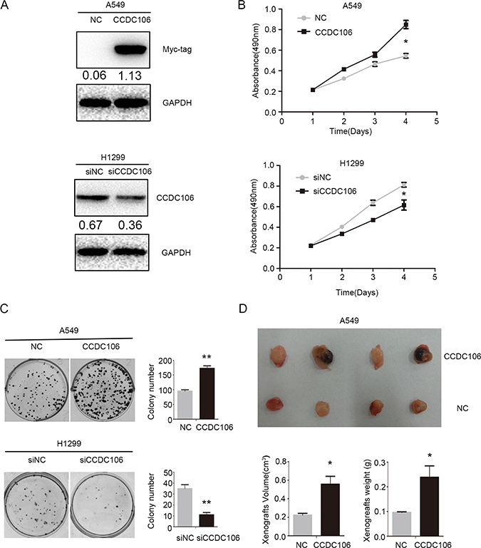 CCDC106 enhanced NSCLC cell proliferation in vitro and in vivo.