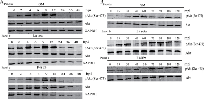 Transient activation of Akt by NDV.