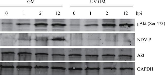 Effect of ultraviolet (UV) irradiation on Akt activation by NDV.