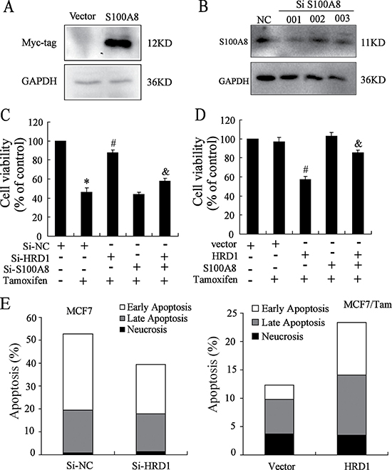 HRD1 can sensitize MCF-7 and MCF7/Tam cells to Tamoxifen.