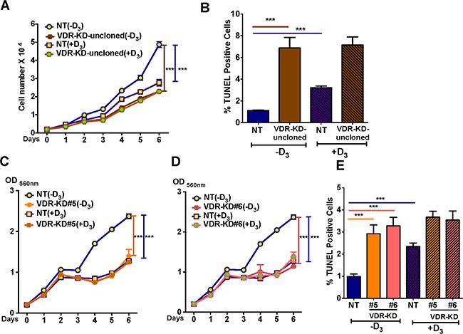 VDR knockdown reduces MCF-7 cell growth and induces apoptosis in a ligand-independent manner.