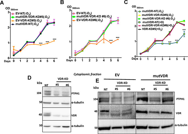 Expression of mutVDR into the VDR knockdown cells restores their growth.