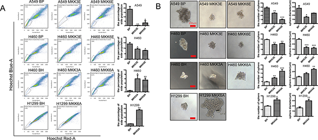 Activated p38 downregulates the stem cell properties of NSCLC cells.