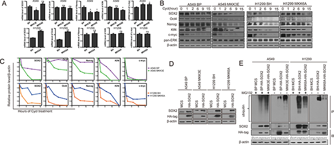 Activated p38 MAPK reduces protein stability of the stemness proteins and promotes ubiquitylation and proteasome-mediated degradation of SOX2.