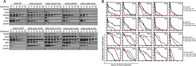 Activated p38γ and p38δ reduce the protein stability of the stemness proteins.