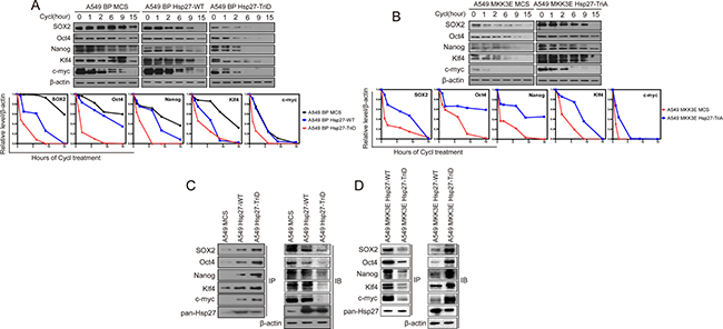 p38γ and p38δ regulate the protein stability of the stemness proteins through phosphorylation of Hsp27, which enhances the interaction between Hsp27 and the stemness proteins, in NSCLC cells.