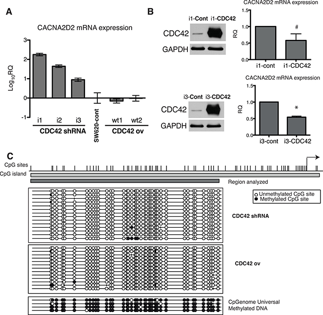 Transcriptional regulation of CACNA2D2 by CDC42 in SW620 cells.