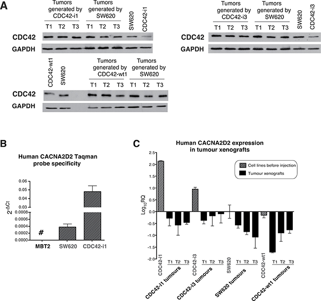 CDC42 and CACNA2D2 expression in SW620 tumor xenografts.
