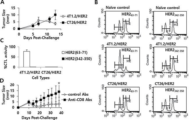 The tumor growth patterns of CT26/HER2 vs. 4T1.2/HER2 cells over time, the Ag-specific CTL lytic activity in vivo and the effect of CD8+ T cell depletion on tumor regression in mice challenged with 4T1.2/HER2 cells.