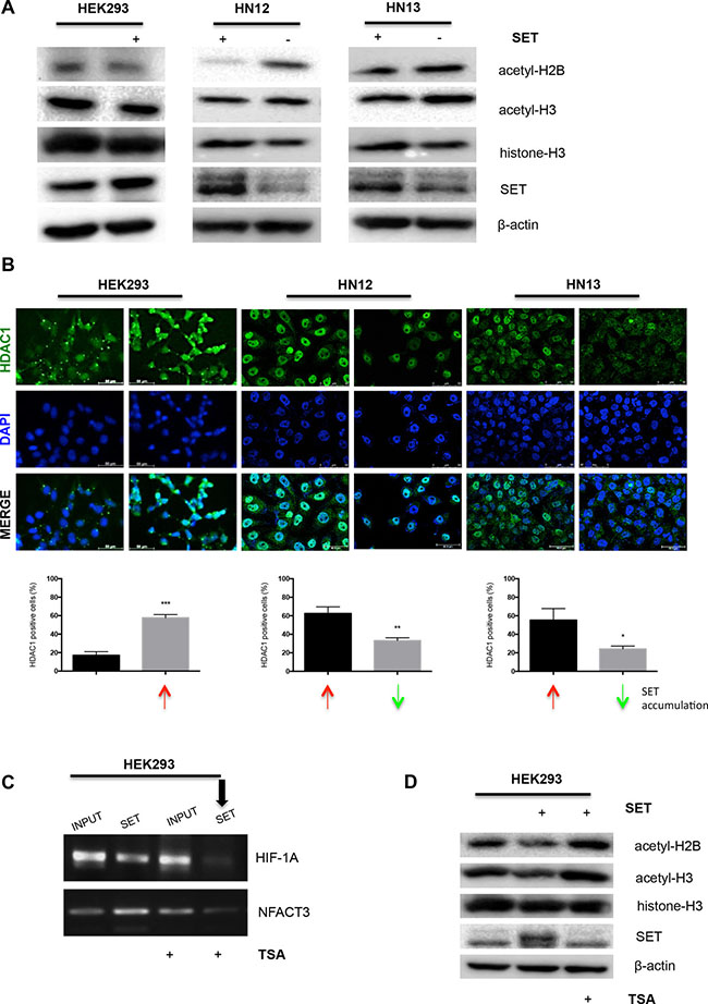 SET may modulate gene expression through hypoacetylation of histones and increase of HDAC1 levels.