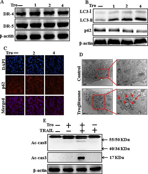 Troglitazone induces autophagy and sensitized apoptosis mediated by TRAIL.