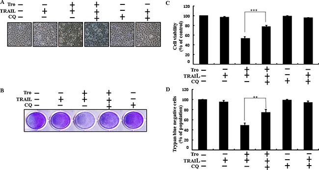 Troglitazone enhancement of TRAIL-induced apoptosis is blocked by inhibition of autophagy.