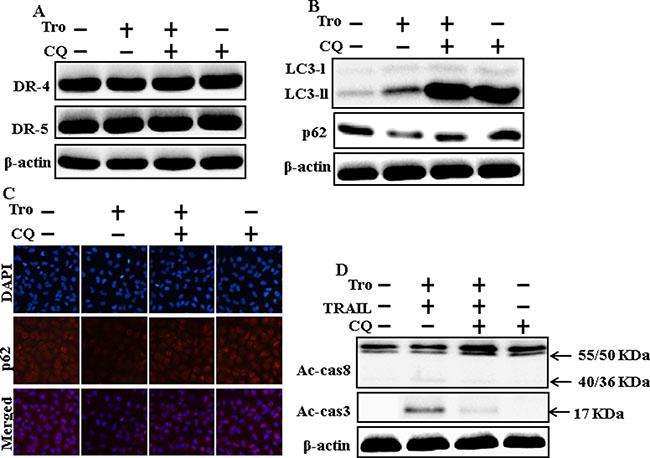 Inhibition of autophagy blocks TRAIL-mediated apoptosis by troglitazone via activation of autophagy flux.
