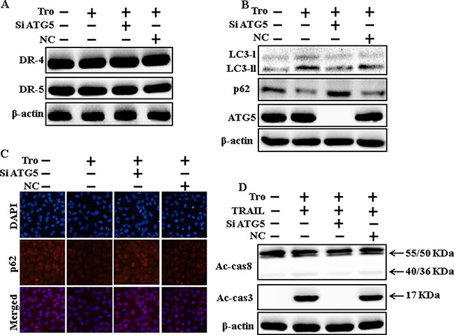Genetic inhibition of autophagy blocks TRAIL-induced apoptosis by troglitazone via activation of autophagy flux.