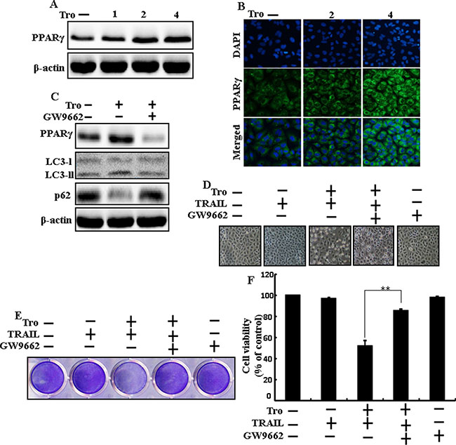 Effects of troglitazone are induced by PPARγ activation in A549 cells.