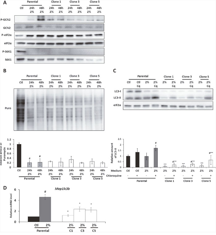 The GCN2 and the mTORC1 pathways are still regulated in the AADR clones.