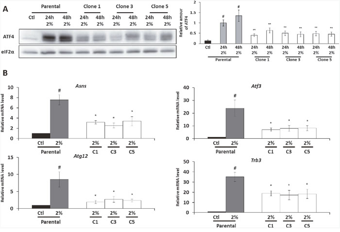 The expression of ATF4 protein and its target gene is diminished in the AADR clones.