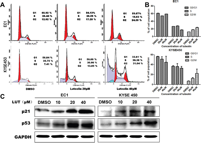 Luteolin induced the cell cycle arrest in EC1 and KYSE450 cells.
