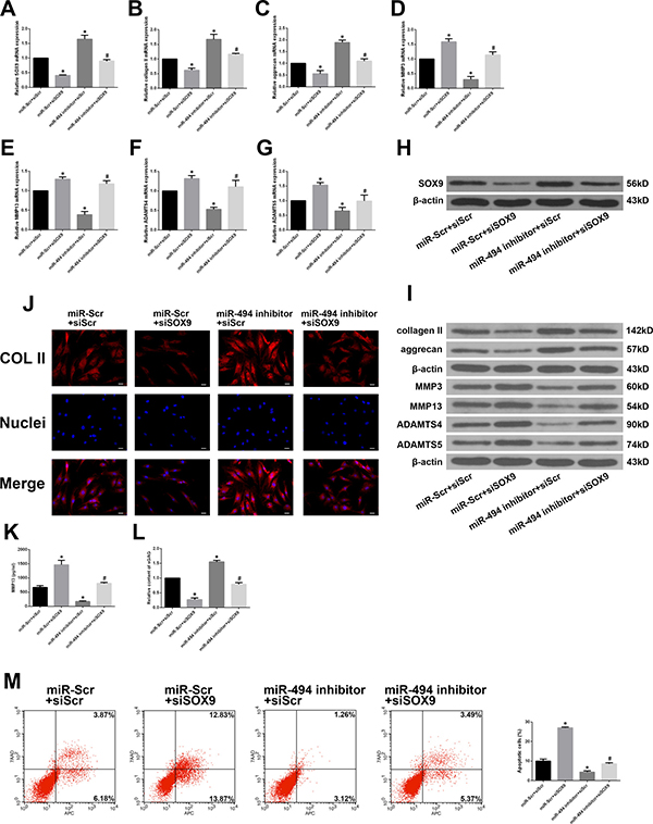 MiR-494 induces ECM degradation and degenerative human NP cell apoptosis by targeting SOX9.