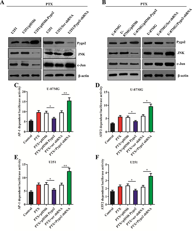 Pygo2 inhibits the activation of the JNK/SAPK pathway and the AP-1 and ATF2 activity.