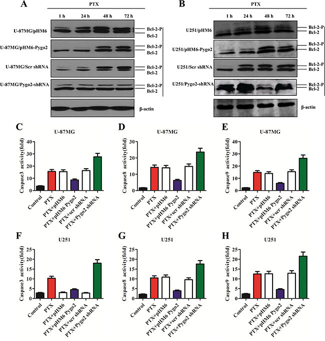 Pygo2 inhibits the phosphorylation of Bcl-2 and the activation of caspases.