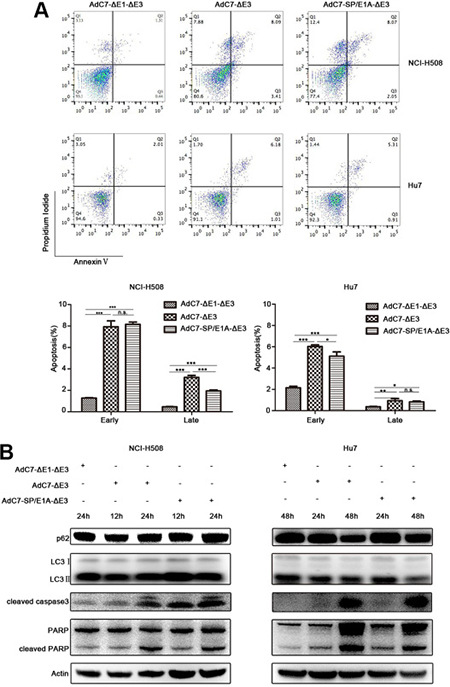 AdC7-ΔE1-ΔE3 trigger tumor cell apoptosis.