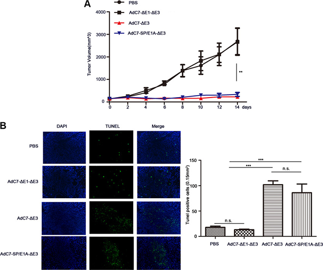 AdC7-SP/E1A-ΔE3 inhibit tumor growth in nude mouse Huh7 cell xenografts.