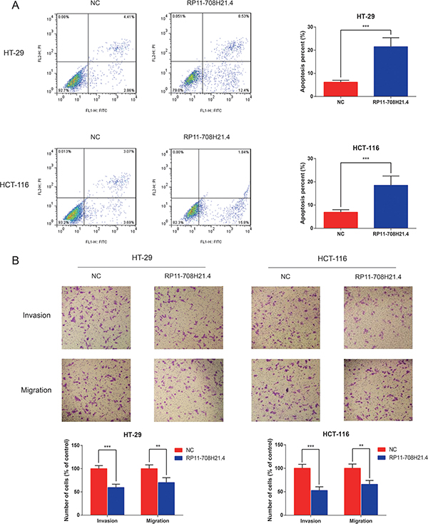 RP11-708H21.4 facilitates CRC cell apoptosis and represses cell invasion in vitro.