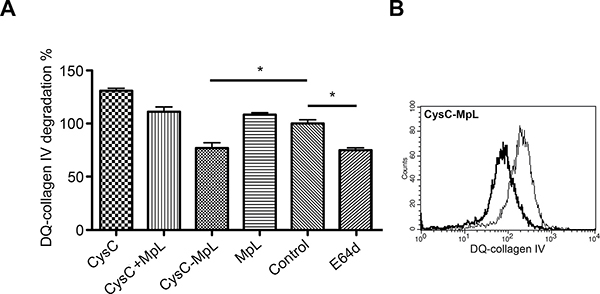 The fusion protein CysC-MpL inhibits intracellular DQ–collagen IV degradation by MCF10A neoT cells.