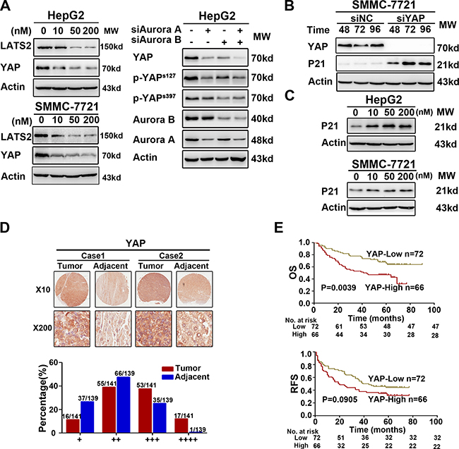 Interference of Aurora kinases contorlled the Hippo pathway and resulted in the accumulation of P21.
