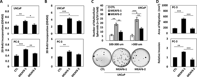 MEAF6-1 promotes prostate cancer cell growth and invasion.