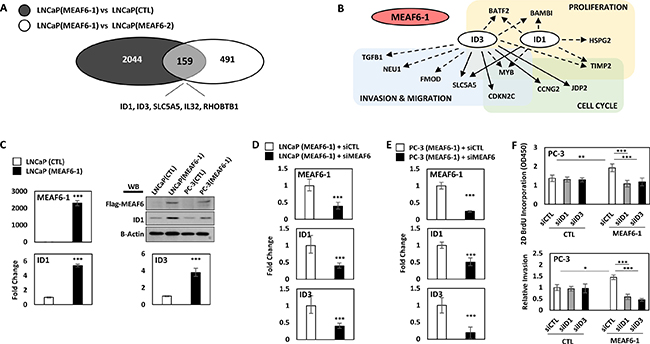 MEAF6-1 function is mediated through ID1 and ID3.