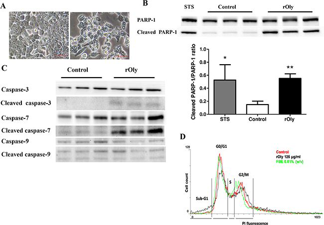 Recombinant ostreolysin (rOly) induces apoptosis in HCT116 cells.