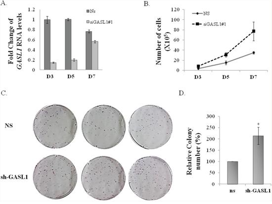 Silencing of GASL1 enhances cell proliferation.