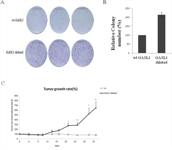GASL1 deletion enhances colony formation as well as tumor growth in a xenograft mouse model.