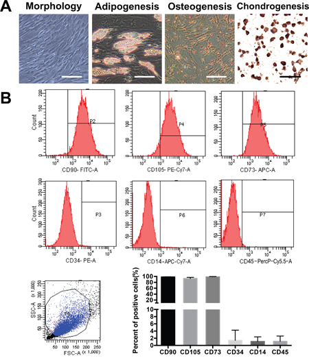 Isolation and characterization of ADSCs from adipose tissue surrounding the knee joint.