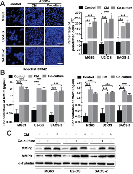 ADSCs trigger OS cell invasion by regulating MMP2/9 and E-cadherin expression.