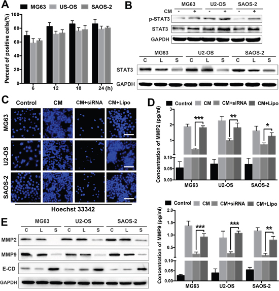 STAT3 signalling mediates the tumour invasion-promoting effects of ADSCs.