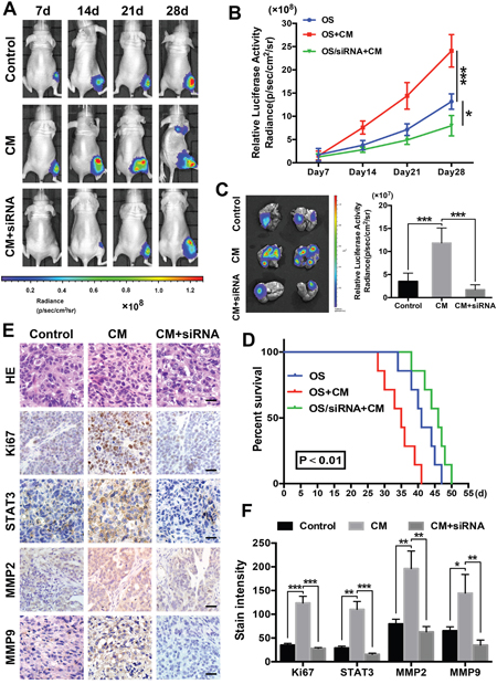 ADSCs promote osteosarcoma growth and metastasis in nude mouse models.