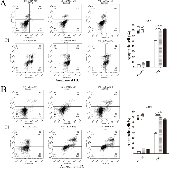 After Nrf2 was knocked down by siRNA-Nrf2 (1), the apoptosis rates of NC and WT cells were tested by flow cytometry again.
