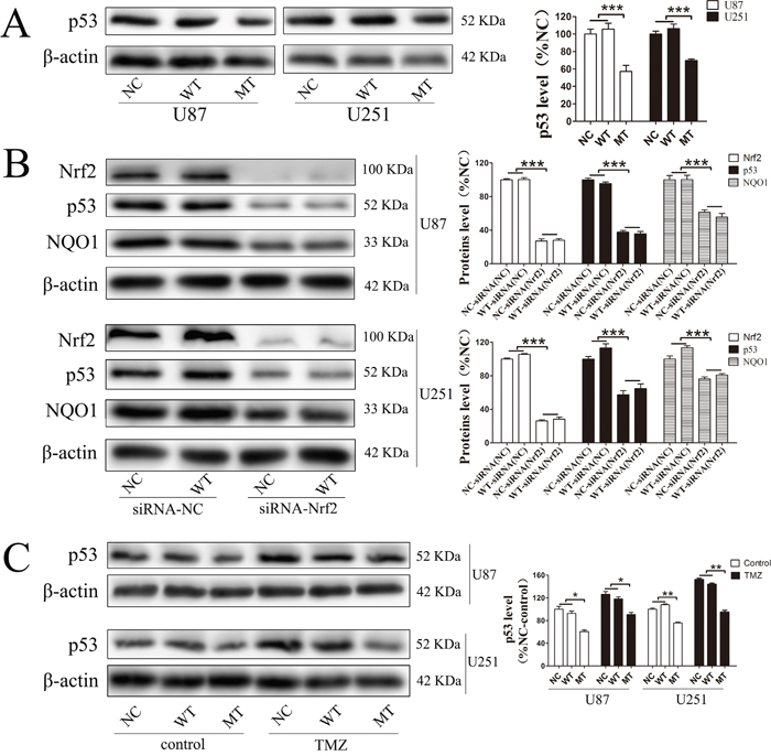 P53 was involved in the resistance mechanism of temozolomide mediated by Nrf2 and NQO1.