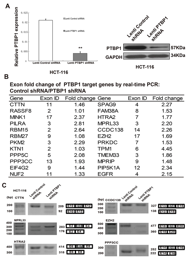 PTBP1 regulates levels of mRNA and alternative splicing in HCT-116 cells.