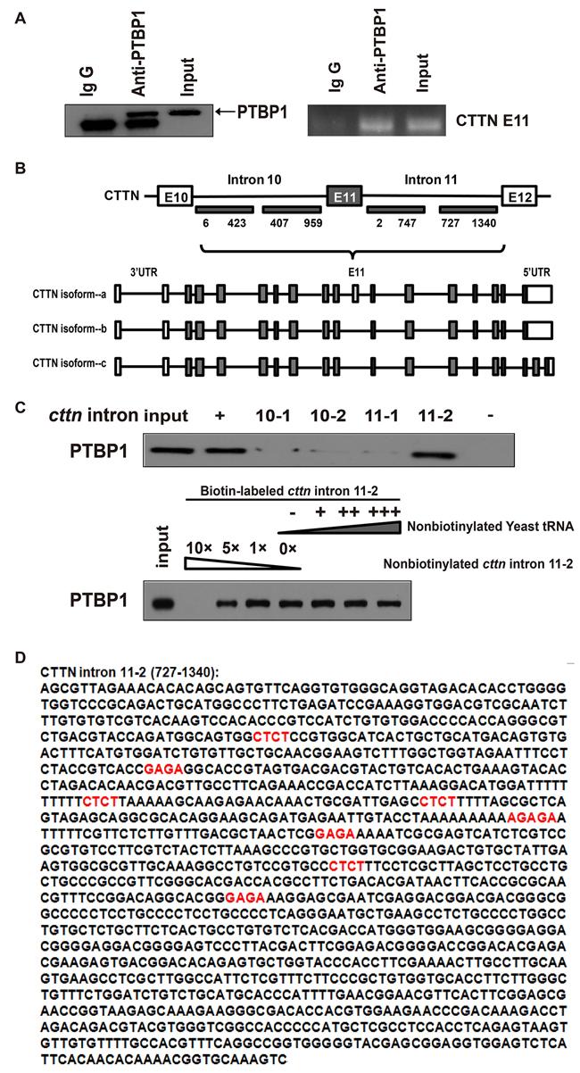 PTBP1 mediates alternative splicing of the exon 11 in cortactin(CTTN) pre-RNA.