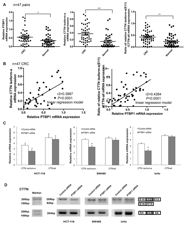 The protein expression of PTBP1 is consistent with that of CTTN isoform-a (E11) in colorectal cancer and cells.