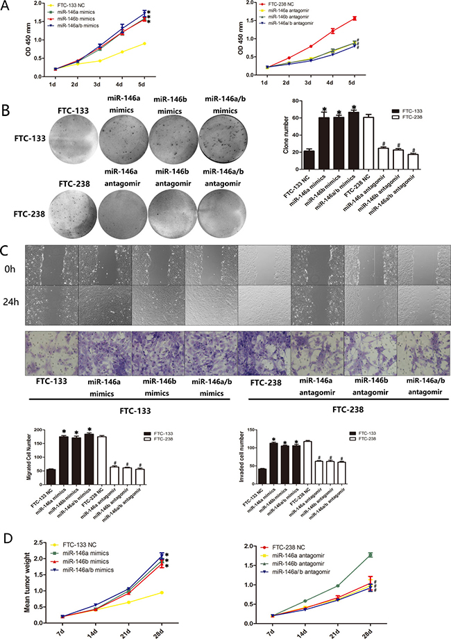 miR-146a/b regulates the proliferation, migration and invasion of FTC-133 cells and FTC-238 cells both in vitro and in vivo.