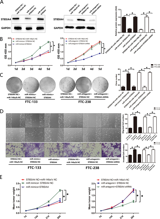 ST8SIA4 suppresses the effects of miR-146a/b in FTC.