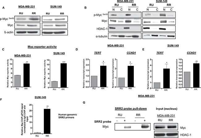 RR cells exhibit higher level of Myc and transcription activity compared to RU cells.