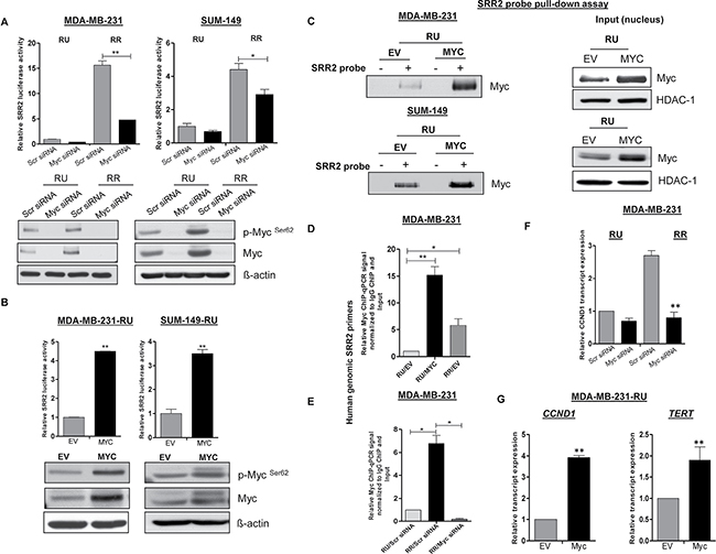 Differential Myc expression contributes to differential SRR2 reporter activity and differential binding capacity.