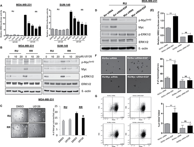 MAPK/ERK pathway regulates SRR2 reporter activity via Myc and regulates cancer stem-like features in TNBC cell subsets.